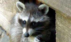 raccoon in Ann Arbor Michigan