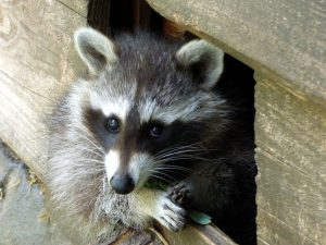 Raccoon removal from Waterford